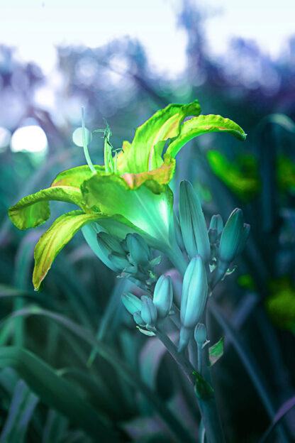 Fotokonst på en lilja i blågrön färgskala
