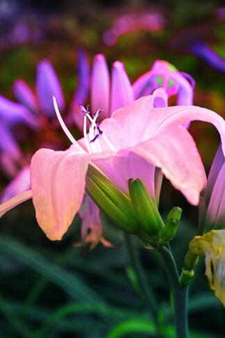 """Fotokonst av en blomma - """"Liliana"""""""